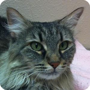 Domestic Longhair Cat for adoption in Gilbert, Arizona - Louise