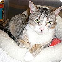 Adopt A Pet :: Toonsis - Springfield, PA