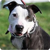 Adopt A Pet :: Dutch - Santa Monica, CA