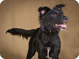 Border Collie/Labrador Retriever Mix Puppy for adoption in League City, Texas - Marcie