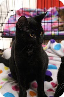 Domestic Shorthair Cat for adoption in Columbus, Ohio - Panera