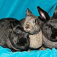 Adopt A Pet :: Go Girls -- Trio - Los Angeles, CA