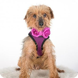 Yorkie, Yorkshire Terrier Dog for adoption in St. Louis Park, Minnesota - Delaney