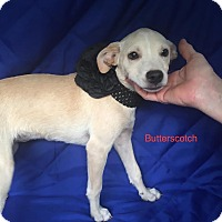 Adopt A Pet :: Butterscotch in CT - Manchester, CT