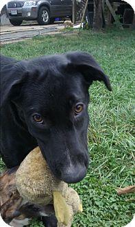 Labrador Retriever Mix Dog for adoption in Northeast, Ohio - Xena