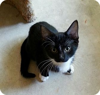 Domestic Shorthair Kitten for adoption in Jackson, Missouri - JORDACHE