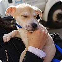 Adopt A Pet :: Chopper (1/6 husky/gsd pup) - New York, NY