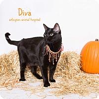 Bombay Cat for adoption in Riverside, California - Diva