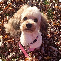 Bichon Frise/Poodle (Miniature) Mix Dog for adoption in Buffalo, New York - Cooper