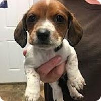 Beagle Dog for adoption in Landenberg, Pennsylvania - Cher-adoption pending