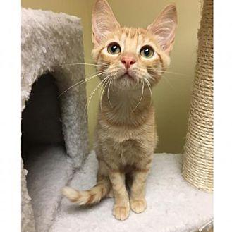 Domestic Shorthair Kitten for adoption in ROSENBERG, Texas - Ariel