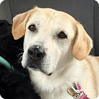 Labrador Retriever Dog for adoption in San Diego, California - Bella (SB)
