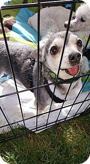 Chihuahua Mix Dog for adoption in New River, Arizona - Tator Tot