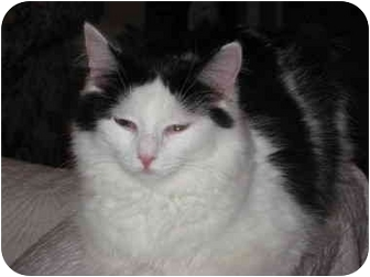 Domestic Longhair Cat for adoption in Duncan, British Columbia - Sweetheart
