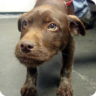 Labrador Retriever/Airedale Terrier Mix Puppy for adoption in baltimore, Maryland - Orlando