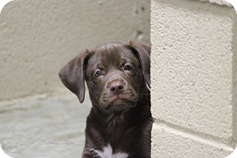 Labrador Retriever Puppy for adoption in Brattleboro, Vermont - Brody
