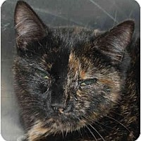 Domestic Shorthair Cat for adoption in Lutherville, Maryland - Swirl