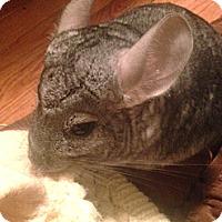 Adopt A Pet :: Gadget - Granby, CT