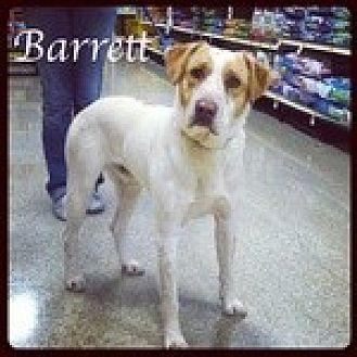 Labrador Retriever/Pointer Mix Dog for adoption in Newnan, Georgia - Barrett