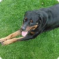 Adopt A Pet :: Dex - Gilbert, AZ