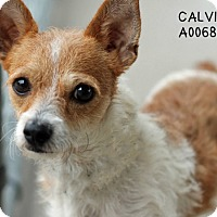 Adopt A Pet :: Calvin - Norwalk, CT