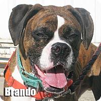 Adopt A Pet :: Brando - Encino, CA