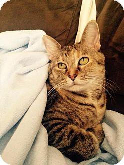Domestic Shorthair Cat for adoption in Plano, Texas - SABINE - LAID BACK SWEETHEART
