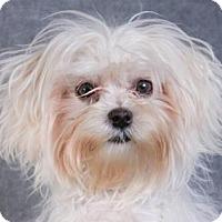Adopt A Pet :: Pip - Colorado Springs, CO