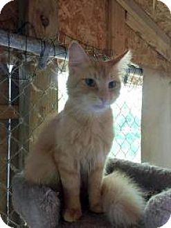 Domestic Longhair Cat for adoption in Ashland, Ohio - Drake