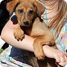 Adopt A Pet :: Hercules (12 lb)