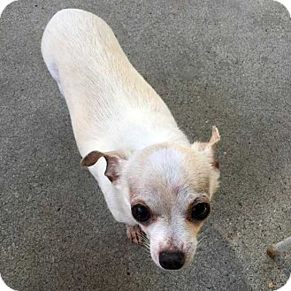 Chihuahua Mix Dog for adoption in Los Angeles, California - Andy! *LA*