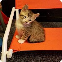 Adopt A Pet :: A387237           Yellow - San Antonio, TX