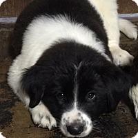 Adopt A Pet :: Bolt - Buffalo, NY