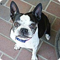 Boston Terrier Dog for adoption in Greensboro, North Carolina - Jessie