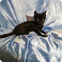 Bombay Kitten for adoption in Sarasota, Florida - Nora