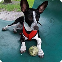 Smooth Fox Terrier/Chihuahua Mix Dog for adoption in Davie, Florida - Indigo