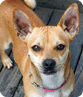 Shiba Inu/Chihuahua Mix Dog for adoption in Salem, Oregon - Redd
