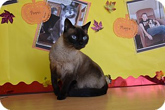 Siamese Cat for adoption in North Judson, Indiana - Asia