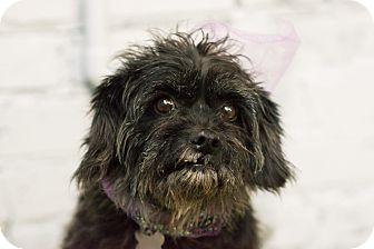 Poodle (Miniature)/Schnauzer (Miniature) Mix Dog for adoption in Woonsocket, Rhode Island - Annabella - MEET ME