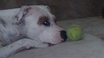 Pit Bull Terrier Mix Dog for adoption in Sioux Falls, South Dakota - Zoey-PENDING ADOPTION