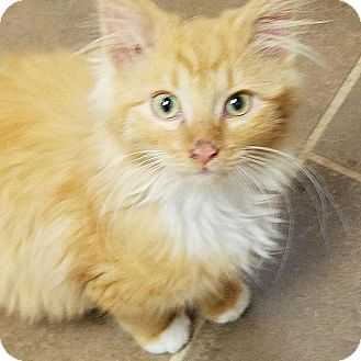 Domestic Longhair Cat for adoption in Jasper, Tennessee - Noah