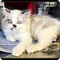 Adopt A Pet :: Prof Mcghonagall - Los Alamitos, CA