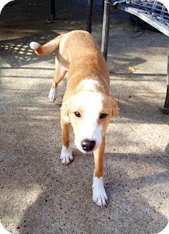 bentely adopted puppy silsbee tx foxhoundlabrador