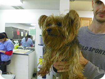 Yorkie, Yorkshire Terrier Mix Dog for adoption in Waldorf, Maryland - Chevy