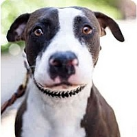 Adopt A Pet :: Brandy - Los Angeles, CA