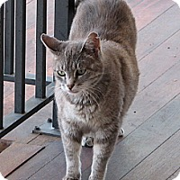 Domestic Shorthair Cat for adoption in Pittstown, New Jersey - Gandalf