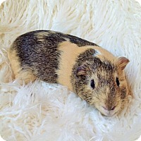 Adopt A Pet :: Waylon - Fullerton, CA