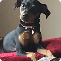 Adopt A Pet :: Serendipity (Destiny Litter) - Fort Lauderdale, FL