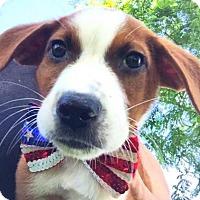 Adopt A Pet :: Isaac Hempstead Wright - Brooklyn, NY