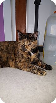 Domestic Shorthair Cat for adoption in Indianapolis, Indiana - Freckles